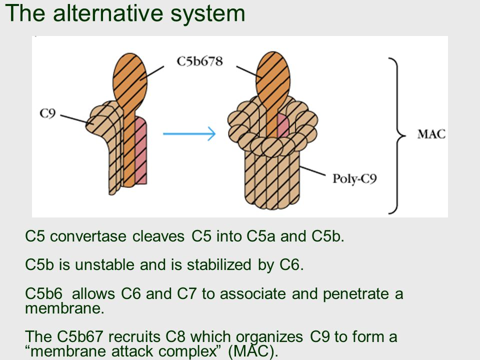 The alternative system If C3[bBb] binds a second C3b, it becomes C3[bBb]3b which is C5 convertase .