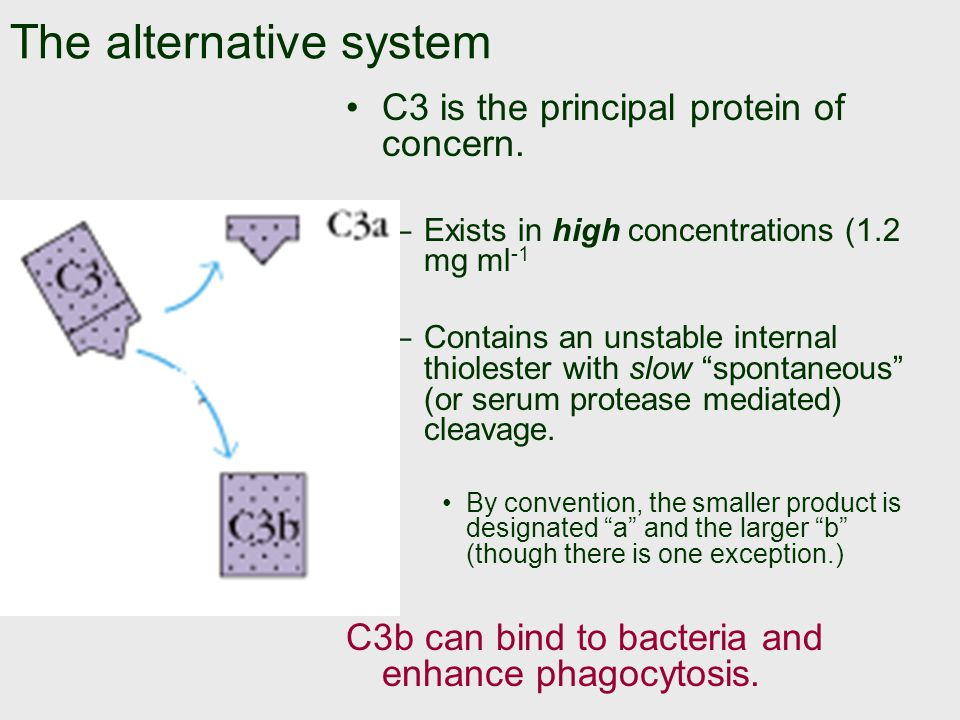 The alternative system C3 is the principal protein of concern.