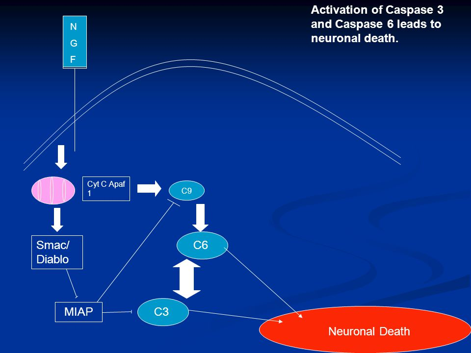 N G F Neuronal Death Activation of Caspase 3 and Caspase 6 leads to neuronal death.