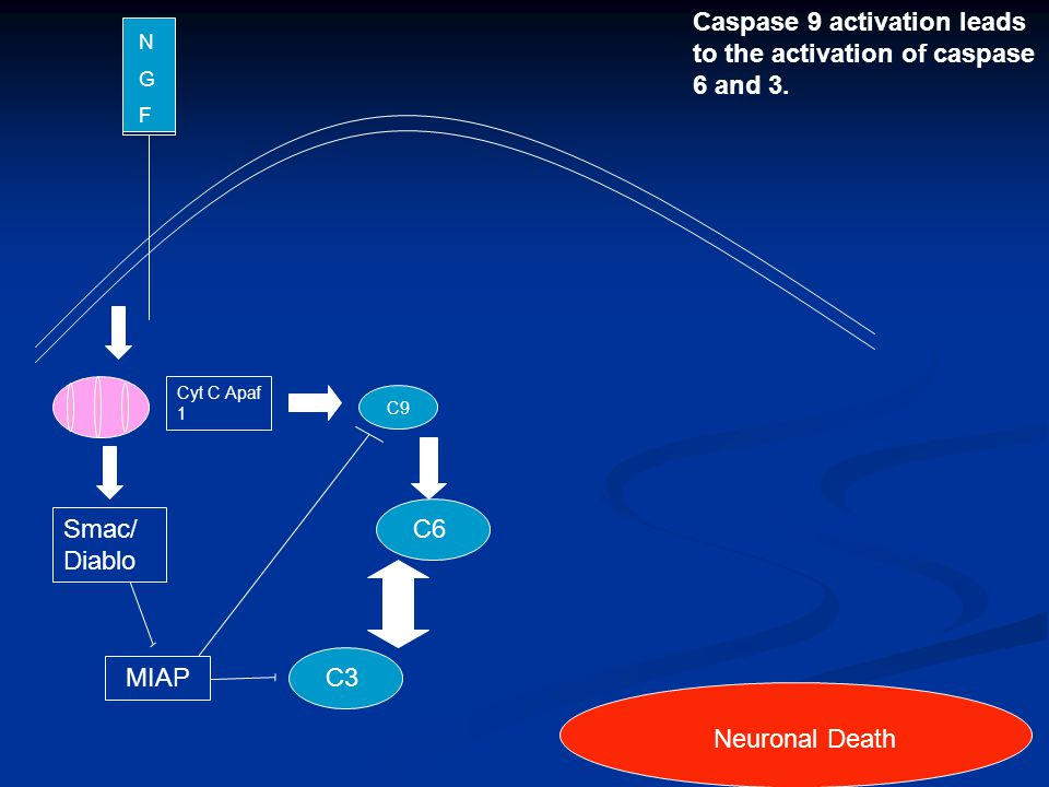 N G F Neuronal Death Caspase 9 activation leads to the activation of caspase 6 and 3. C9 Cyt C Apaf 1 Smac/ Diablo MIAP C6C3