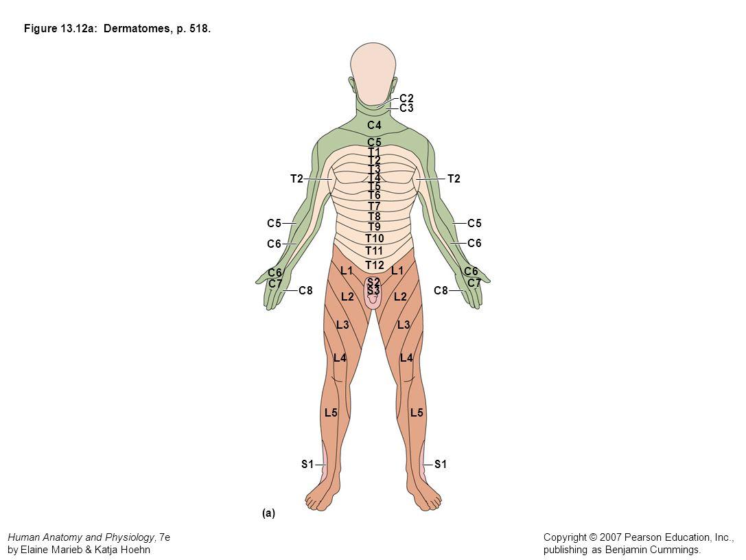 Human Anatomy and Physiology, 7e by Elaine Marieb & Katja Hoehn Copyright © 2007 Pearson Education, Inc., publishing as Benjamin Cummings. Figure 13.1