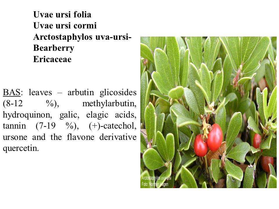Uvae ursi folia Uvae ursi cormi Arctostaphylos uva-ursi- Bearberry Ericaceae BAS: leaves – arbutin glicosides (8-12 %), methylarbutin, hydroquinon, galic, elagic acids, tannin (7-19 %), (+)-catechol, ursone and the flavone derivative quercetin.