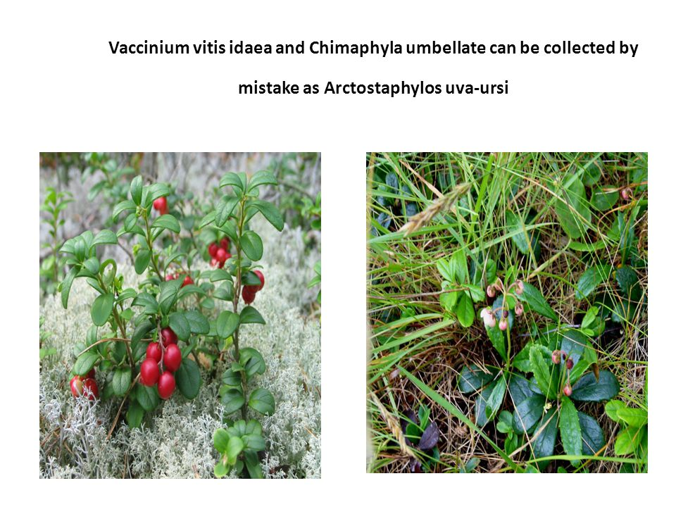 Vaccinium vitis idaea and Chimaphyla umbellate can be collected by mistake as Arctostaphylos uva-ursi