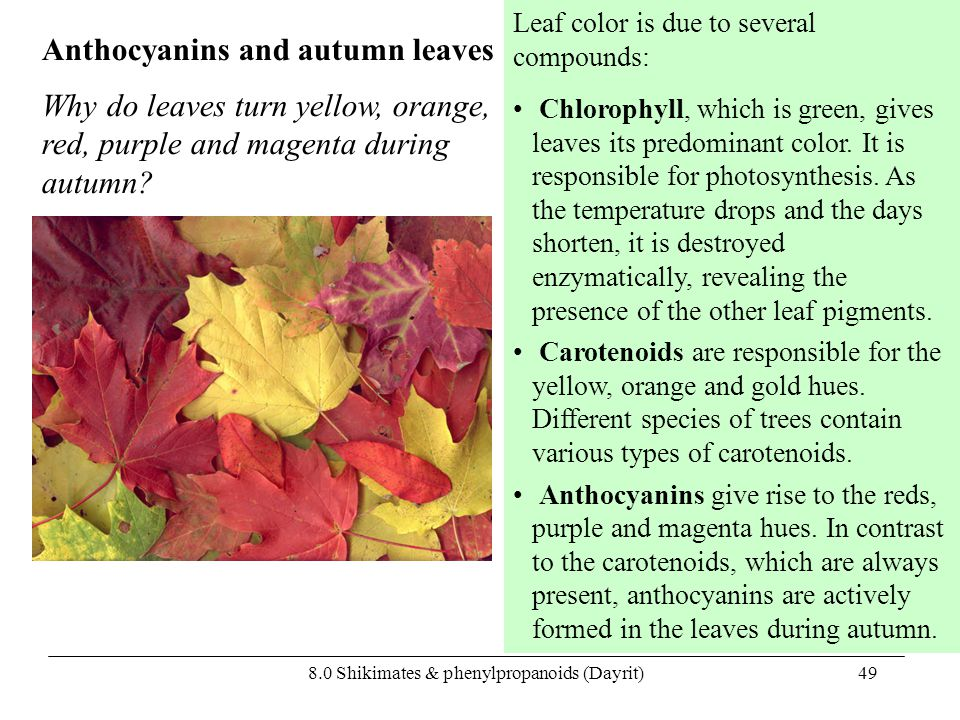 8.0 Shikimates & phenylpropanoids (Dayrit)49 Anthocyanins and autumn leaves Leaf color is due to several compounds: Chlorophyll, which is green, gives