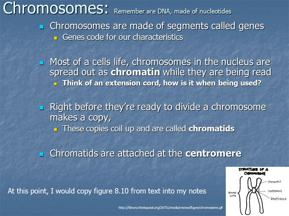 Chromosomes: Remember are DNA, made of nucleotides Chromosomes are made of segments called genes Chromosomes are made of segments called genes Genes code for our characteristics Genes code for our characteristics Most of a cells life, chromosomes in the nucleus are spread out as chromatin while they are being read Most of a cells life, chromosomes in the nucleus are spread out as chromatin while they are being read Think of an extension cord, how is it when being used.