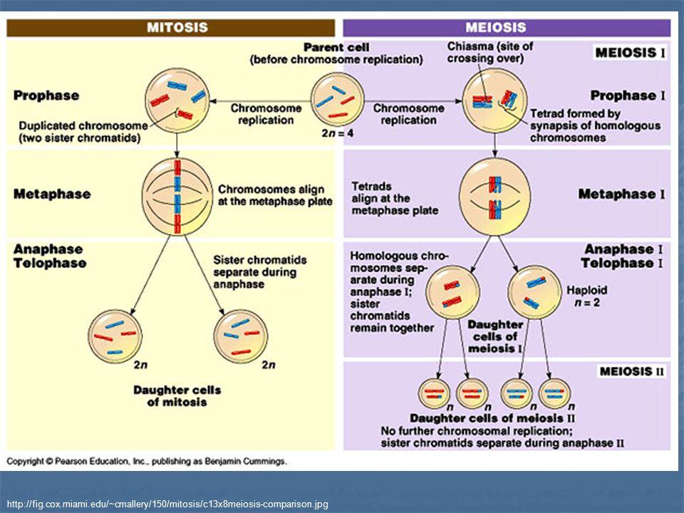 http://fig.cox.miami.edu/~cmallery/150/mitosis/c13x8meiosis-comparison.jpg