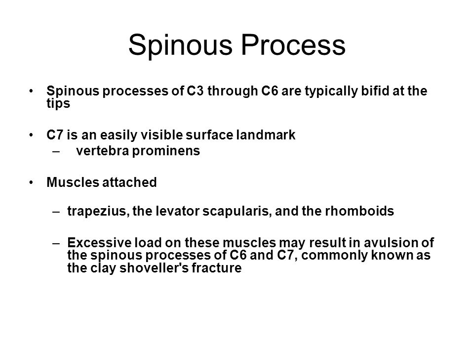 Spinous Process Spinous processes of C3 through C6 are typically bifid at the tips C7 is an easily visible surface landmark – vertebra prominens Muscles attached –trapezius, the levator scapularis, and the rhomboids –Excessive load on these muscles may result in avulsion of the spinous processes of C6 and C7, commonly known as the clay shoveller s fracture