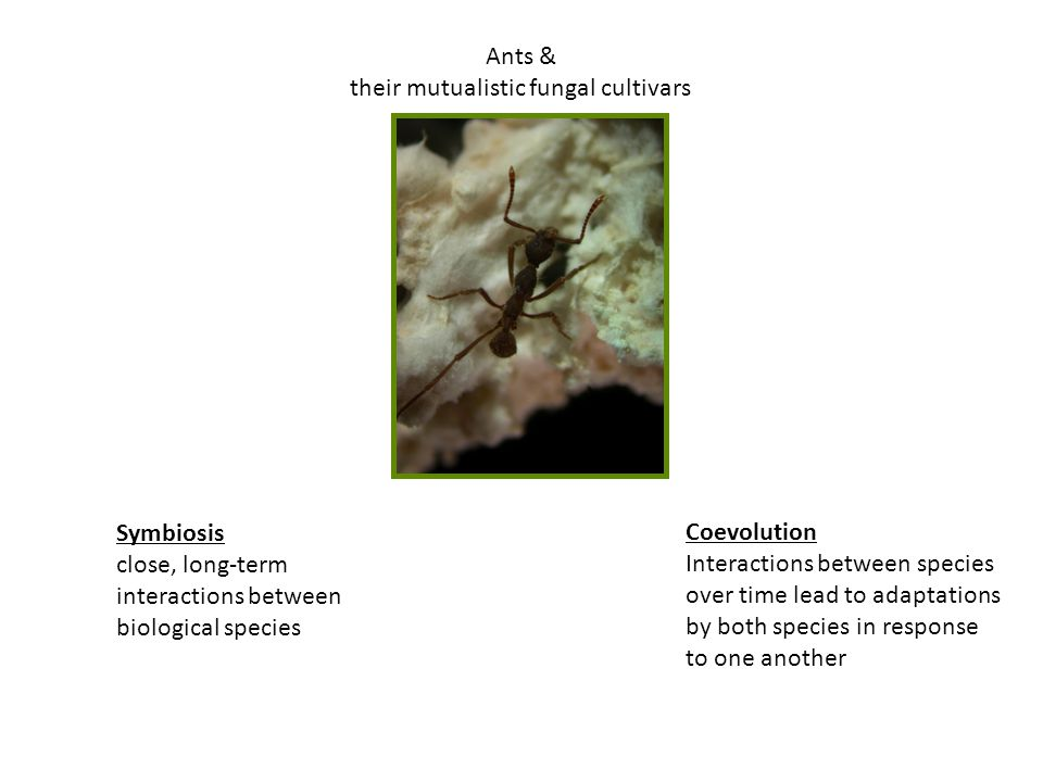 Ants & their mutualistic fungal cultivars Symbiosis close, long-term interactions between biological species Coevolution Interactions between species