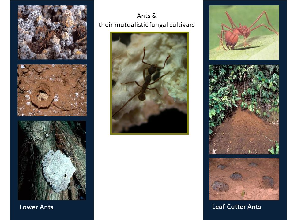 Ants & their mutualistic fungal cultivars Lower Ants Leaf-Cutter Ants