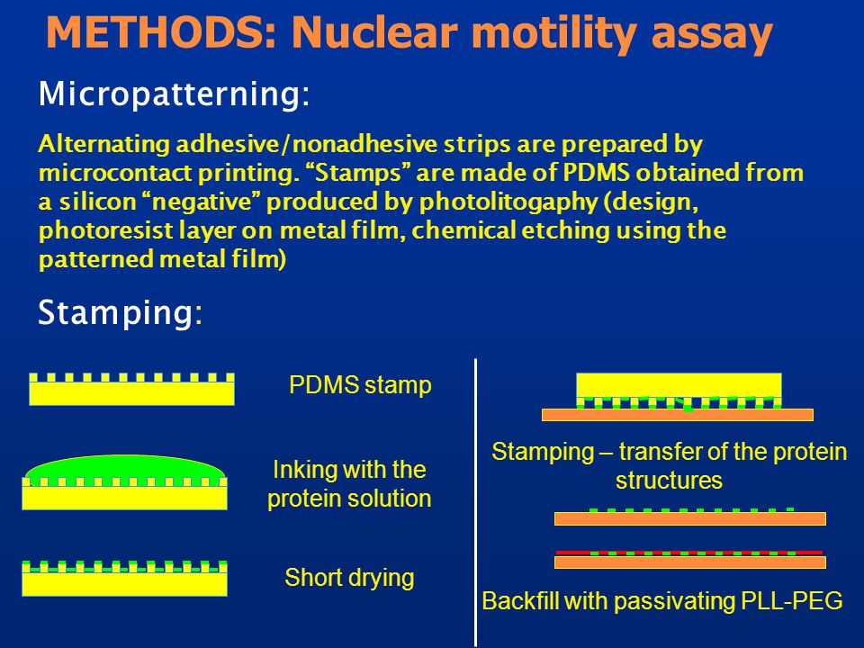 METHODS: Nuclear motility assay Micropatterning: Alternating adhesive/nonadhesive strips are prepared by microcontact printing.