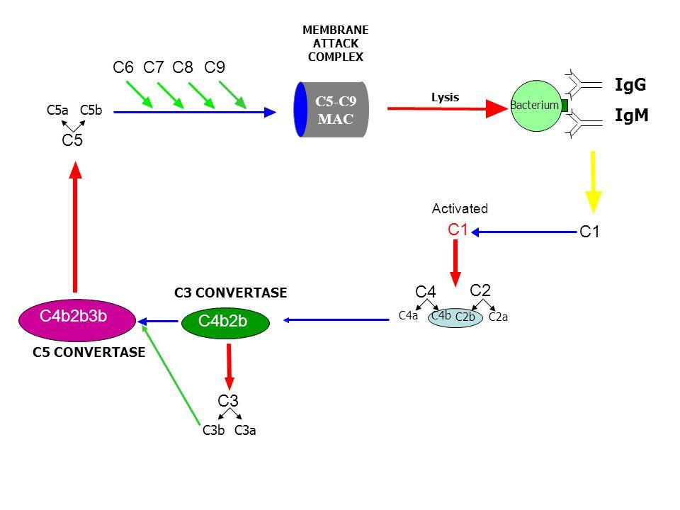 C1 Activated C4b2b C3 CONVERTASE C5 C9C8C7C6 Bacterium IgG IgM C4 C2C2 C4aC4b C2bC2bC2aC2a C3C3 C3aC3b C4b2b3b C5 CONVERTASE C5aC5b Lysis MEMBRANE ATTACK COMPLEX C5-C9 MAC