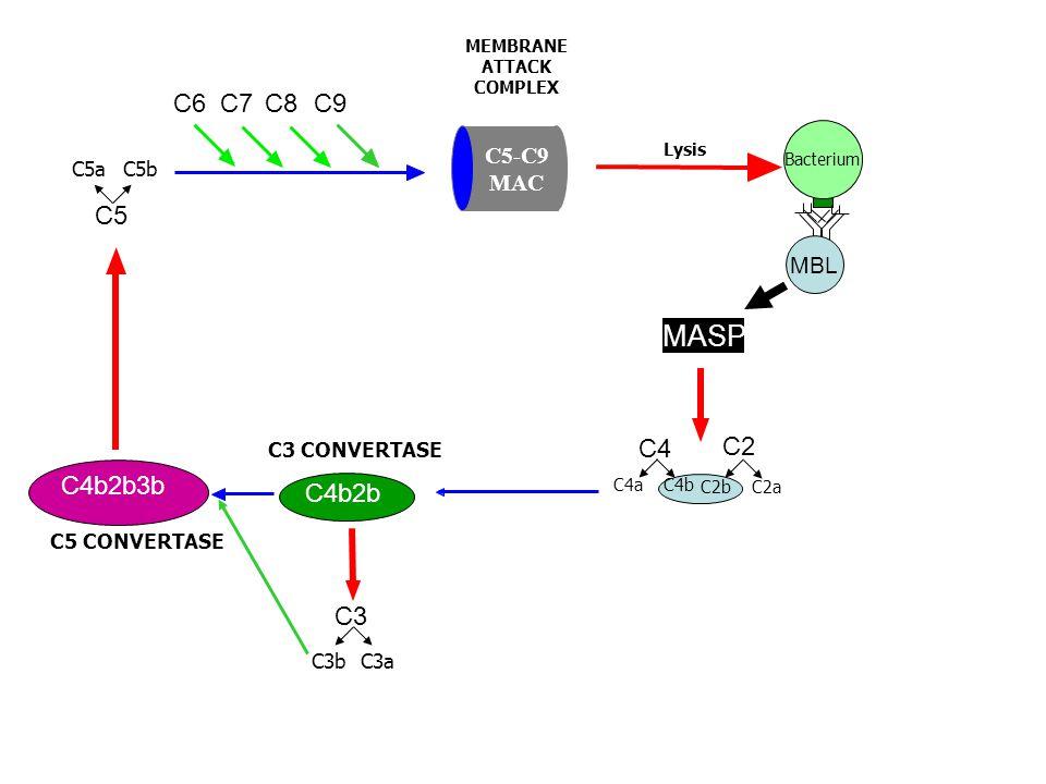 C4b2b C3 CONVERTASE C5 C9C8C7C6 Bacterium C4 C2C2 C4aC4b C2bC2bC2aC2a C3C3 C3aC3b C4b2b3b C5 CONVERTASE C5aC5b Lysis MEMBRANE ATTACK COMPLEX C5-C9 MAC MASP MBL