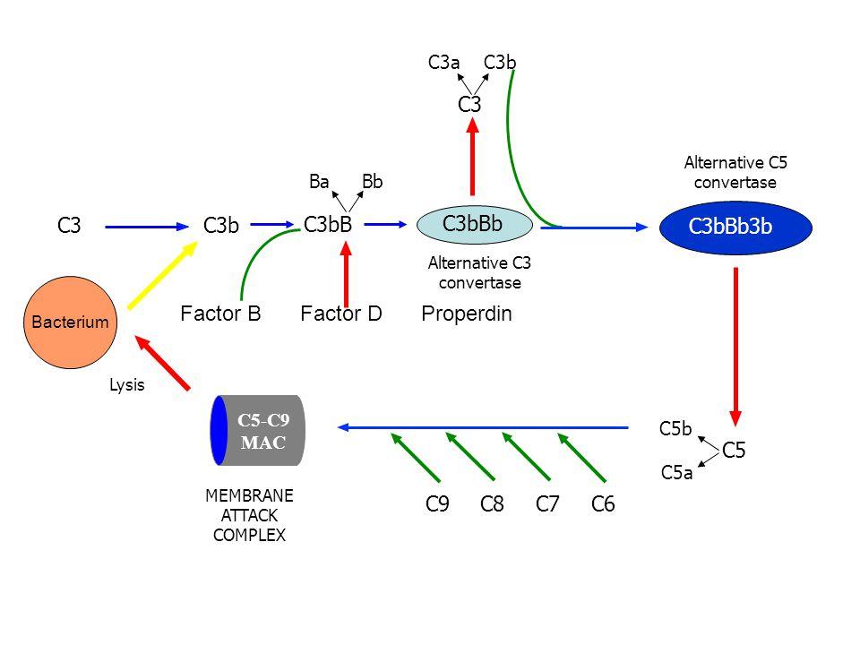 C3C3b C5 C6C7C8C9 Bacterium Factor D BaBb C3 C3aC3b C3bBb3b Alternative C5 convertase C5b C5a Lysis MEMBRANE ATTACK COMPLEX C5-C9 MAC Factor B C3bB C3bBb Alternative C3 convertase Properdin