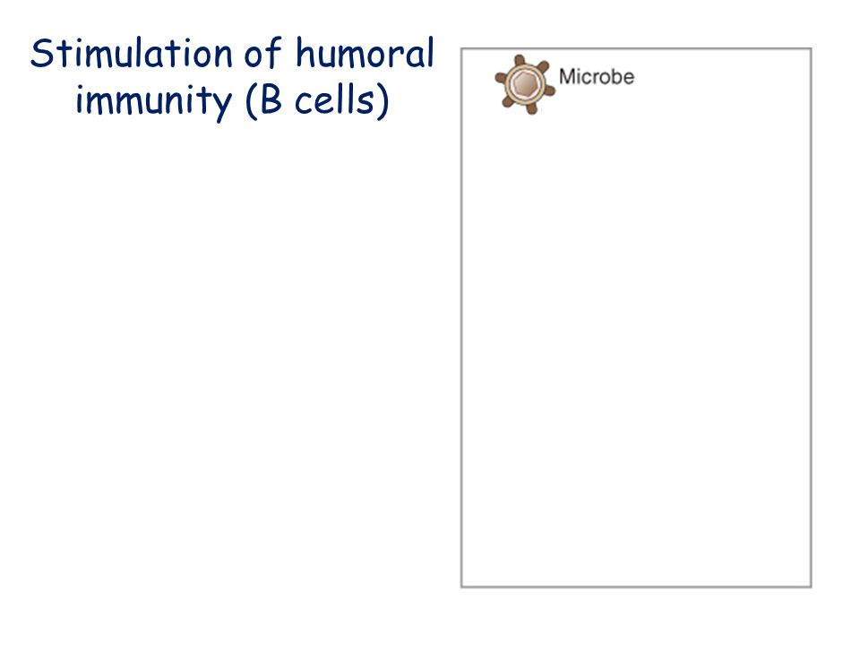 Stimulation of humoral immunity (B cells)