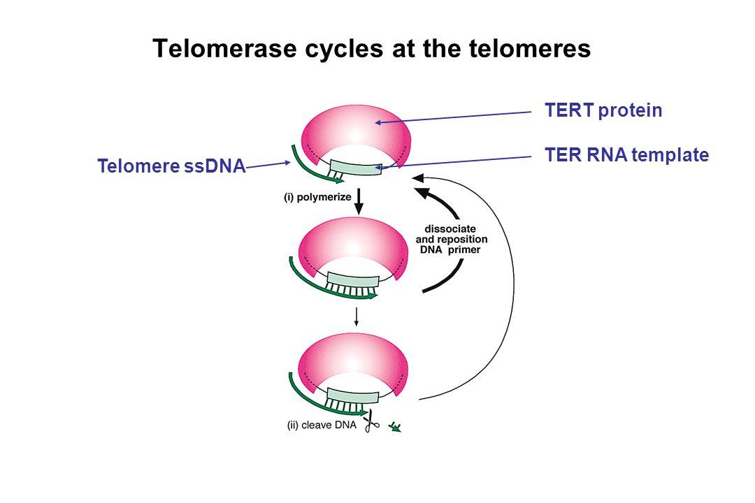Telomerase cycles at the telomeres Telomere ssDNA TERT protein TER RNA template