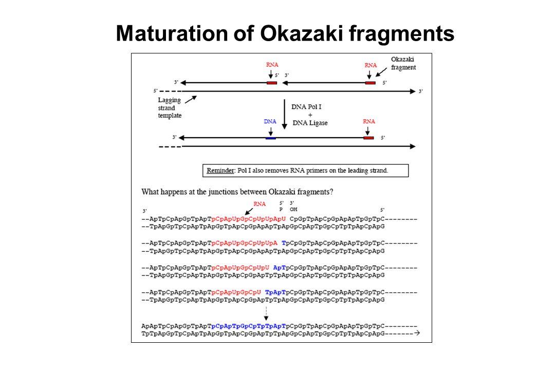 Maturation of Okazaki fragments