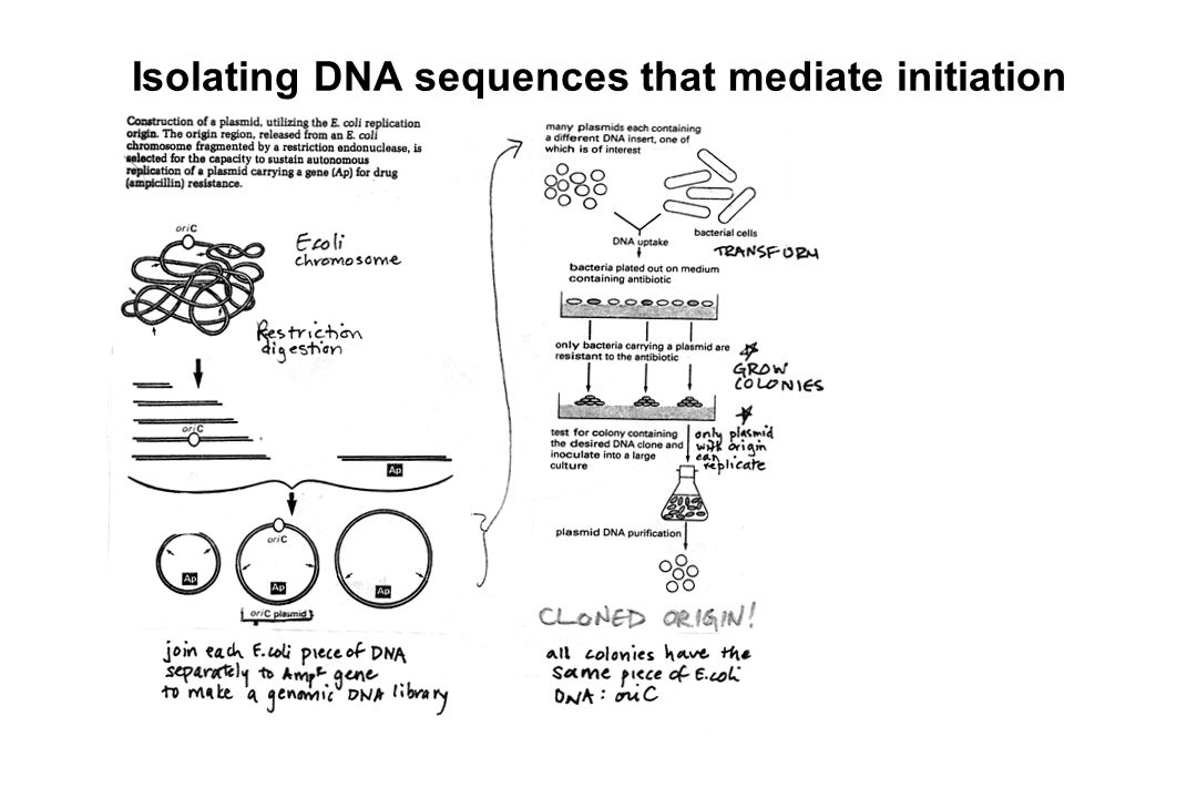 Isolating DNA sequences that mediate initiation
