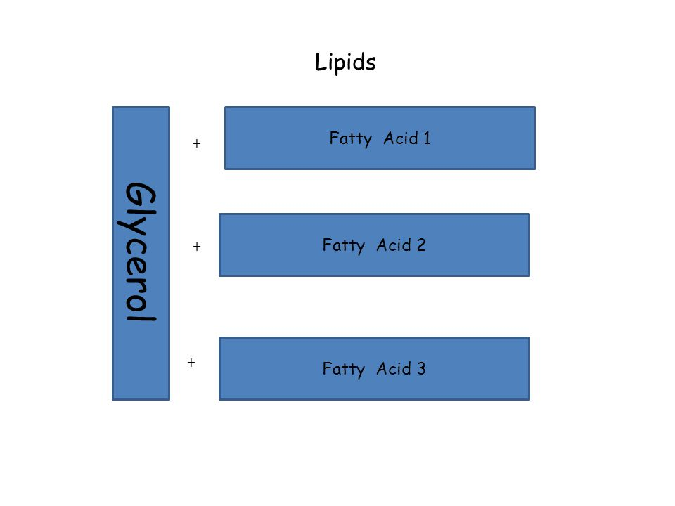 Lipids Glycerol Fatty Acid 1 Fatty Acid 2 Fatty Acid 3 + + +