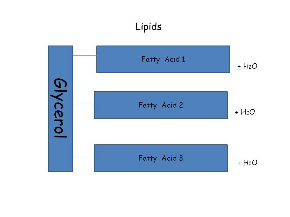 Lipids Glycerol Fatty Acid 1 Fatty Acid 2 Fatty Acid 3 + H 2 O