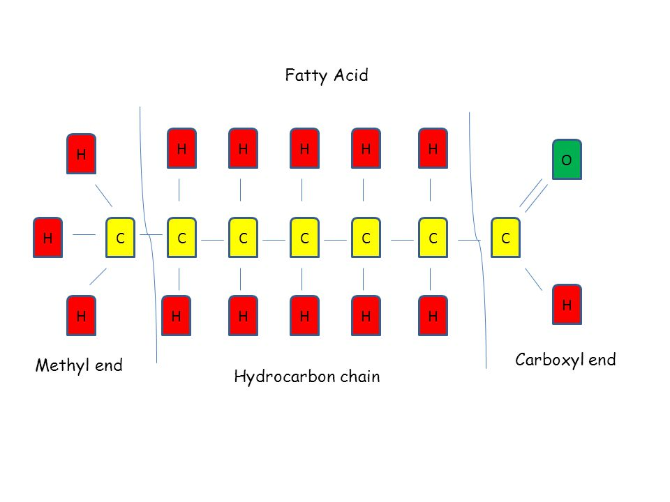 Fatty Acid CC H H CCC H O C HHH H C H HH H HH H Methyl end Carboxyl end Hydrocarbon chain