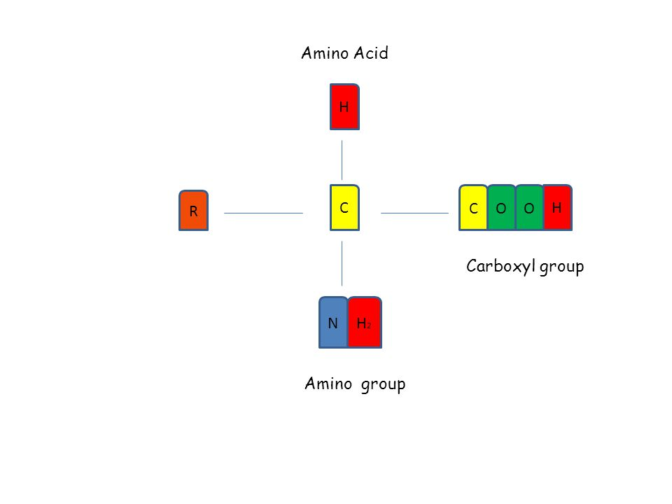 Amino Acid H R C COO H N H2H2 Carboxyl group Amino group