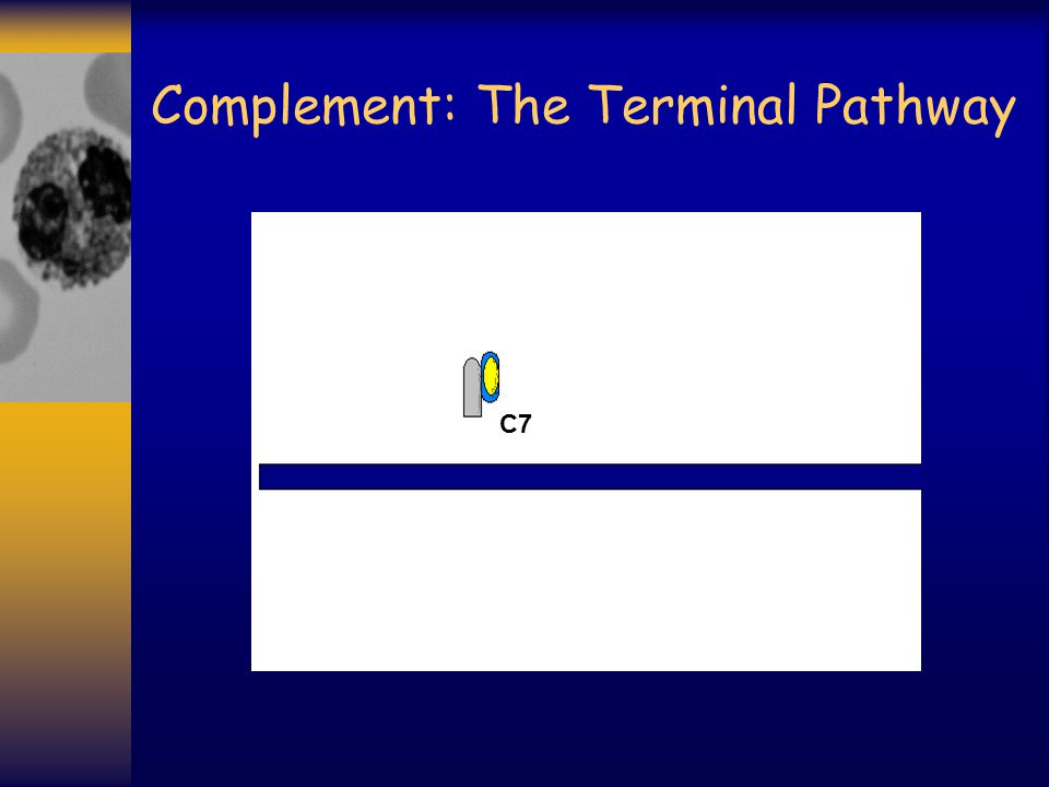 Complement: The Terminal Pathway C7