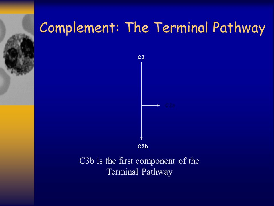 Complement: The Terminal Pathway C3b C3b is the first component of the Terminal Pathway C3a C3