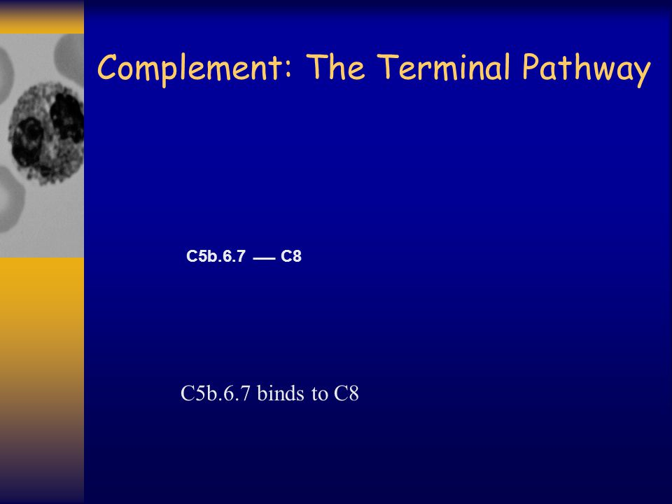 Complement: The Terminal Pathway C8 C5b.6.7 binds to C8 C5b.6.7