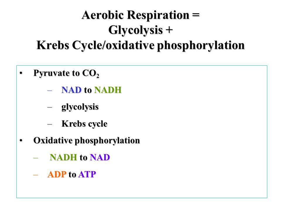 Aerobic Respiration = Glycolysis + Krebs Cycle/oxidative phosphorylation Pyruvate to CO 2Pyruvate to CO 2 –NAD to NADH –glycolysis –Krebs cycle Oxidative phosphorylationOxidative phosphorylation – NADH to NAD –ADP to ATP