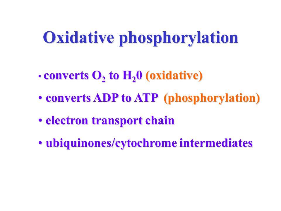 Oxidative phosphorylation converts O 2 to H 2 0 (oxidative) converts O 2 to H 2 0 (oxidative) converts ADP to ATP (phosphorylation) converts ADP to ATP (phosphorylation) electron transport chain electron transport chain ubiquinones/cytochrome intermediates ubiquinones/cytochrome intermediates