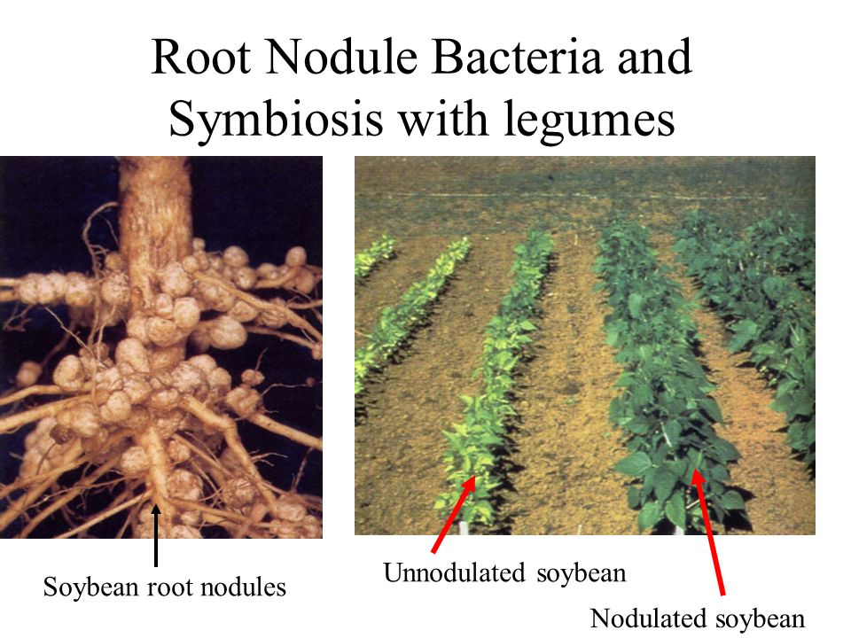 Root Nodule Bacteria and Symbiosis with legumes Soybean root nodules Unnodulated soybean Nodulated soybean