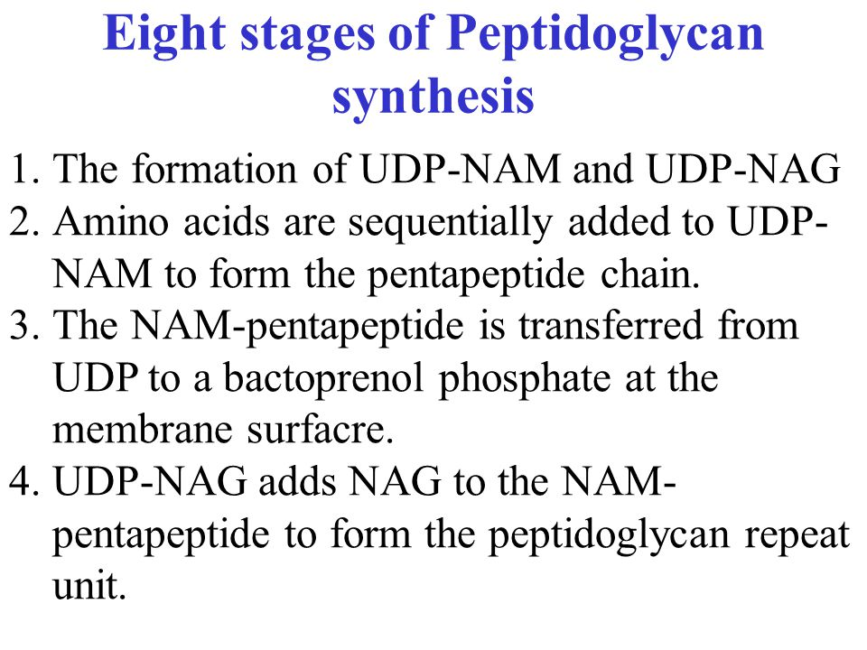 Eight stages of Peptidoglycan synthesis 1.The formation of UDP-NAM and UDP-NAG 2.Amino acids are sequentially added to UDP- NAM to form the pentapeptide chain.