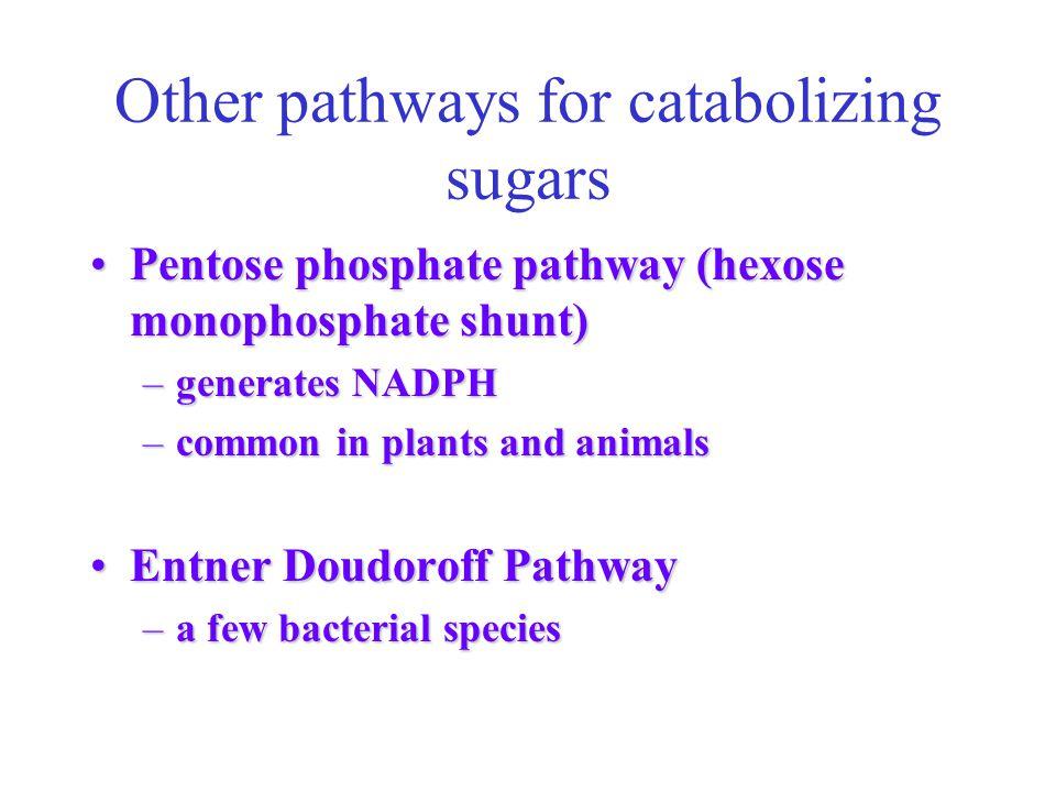 Other pathways for catabolizing sugars Pentose phosphate pathway (hexose monophosphate shunt)Pentose phosphate pathway (hexose monophosphate shunt) –g