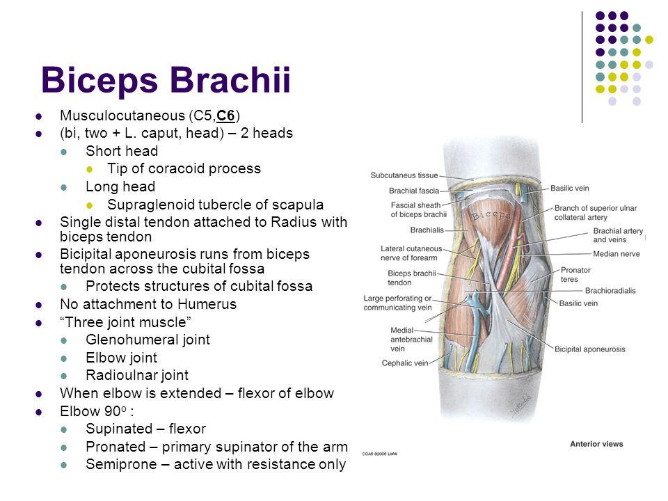 Biceps Brachii Musculocutaneous (C5,C6) (bi, two + L. caput, head) – 2 heads Short head Tip of coracoid process Long head Supraglenoid tubercle of sca