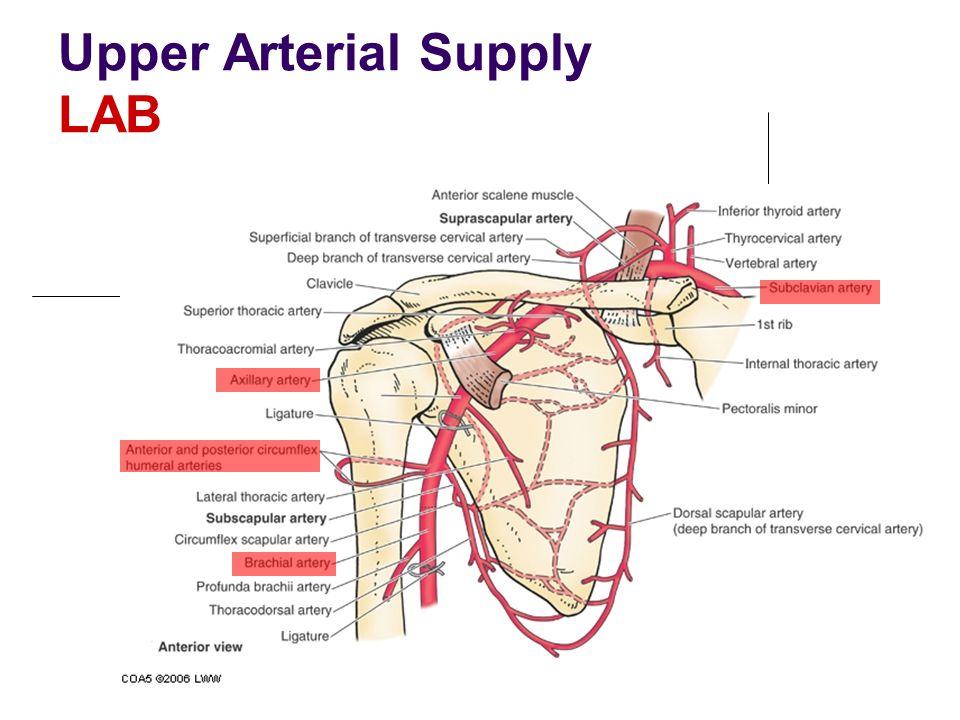 Upper Arterial Supply LAB
