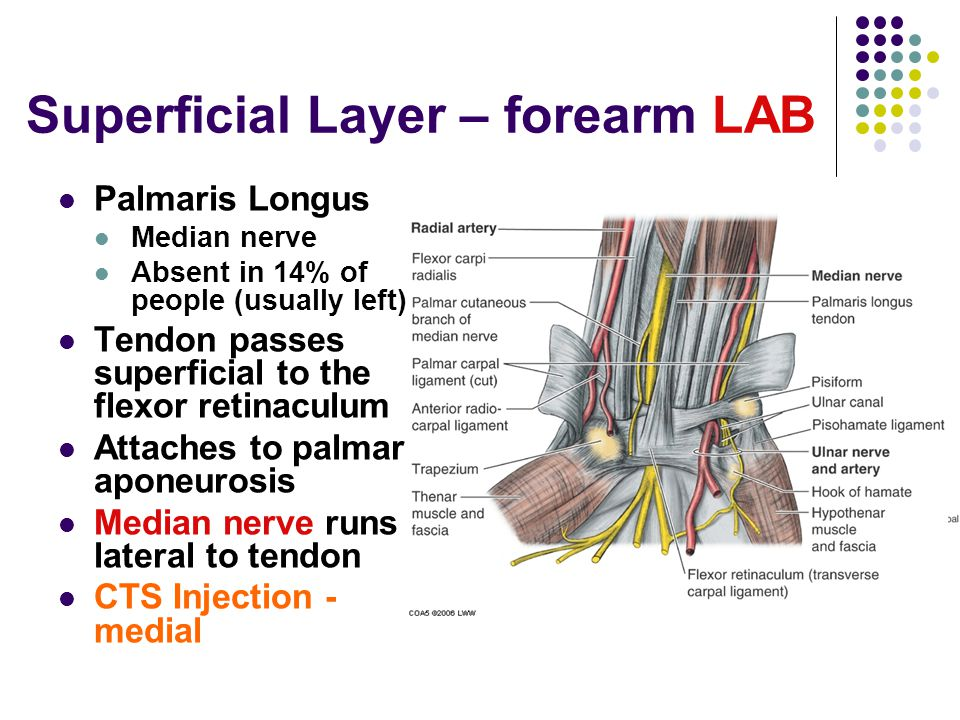 Superficial Layer – forearm LAB Palmaris Longus Median nerve Absent in 14% of people (usually left) Tendon passes superficial to the flexor retinaculu