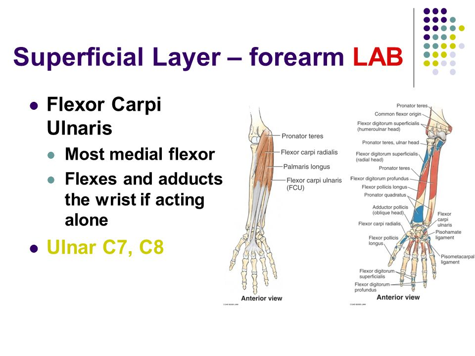 Superficial Layer – forearm LAB Flexor Carpi Ulnaris Most medial flexor Flexes and adducts the wrist if acting alone Ulnar C7, C8