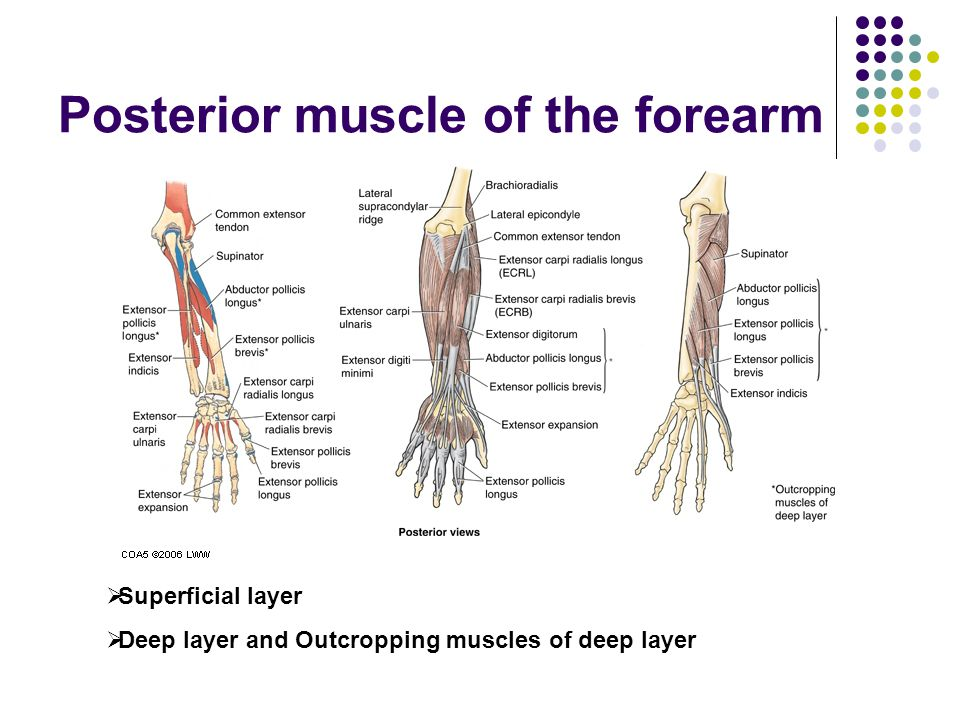 Posterior muscle of the forearm  Superficial layer  Deep layer and Outcropping muscles of deep layer