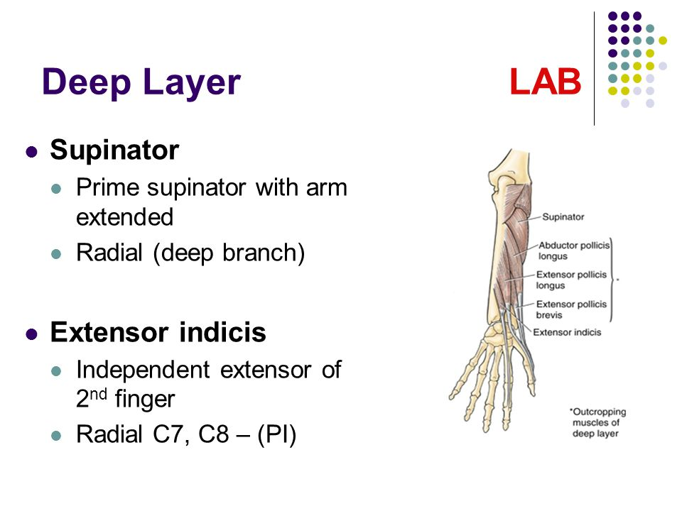 Deep Layer LAB Supinator Prime supinator with arm extended Radial (deep branch) Extensor indicis Independent extensor of 2 nd finger Radial C7, C8 – (