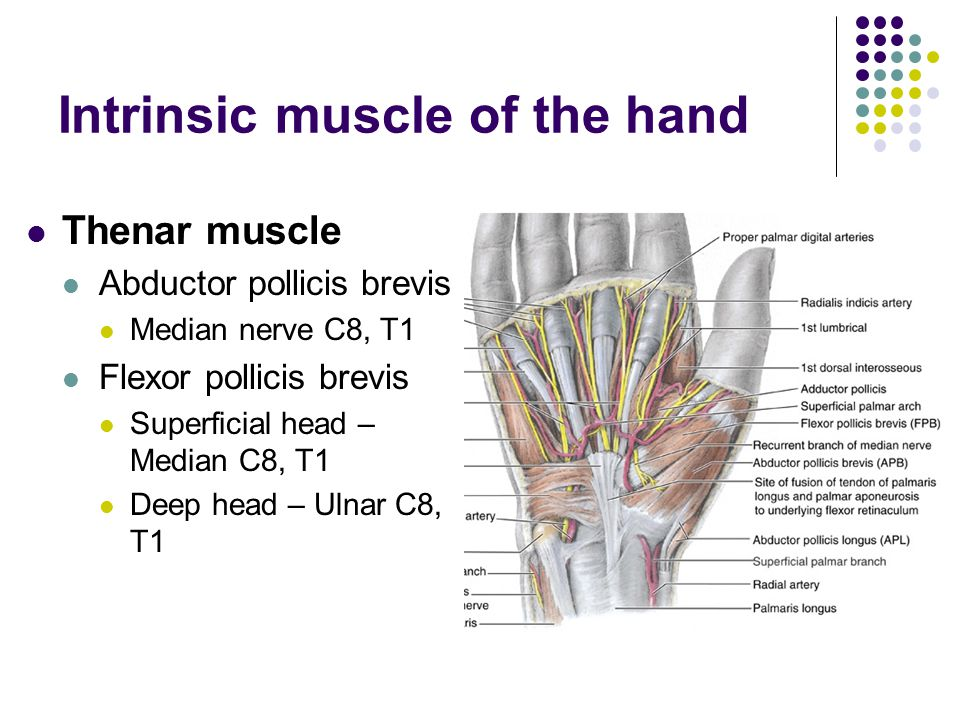 Intrinsic muscle of the hand Thenar muscle Abductor pollicis brevis Median nerve C8, T1 Flexor pollicis brevis Superficial head – Median C8, T1 Deep h