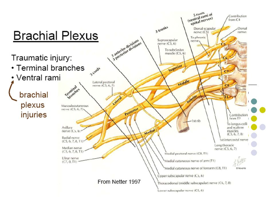 Intrinsic muscle of the hand Thenar muscle Abductor pollicis brevis Median nerve C8, T1 Flexor pollicis brevis Superficial head – Median C8, T1 Deep head – Ulnar C8, T1