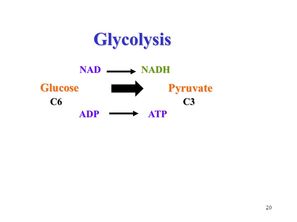 20 Glycolysis Glycolysis NADNADH Glucose Pyruvate C6C3 ADPATP