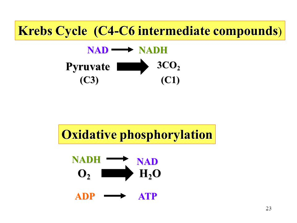 23 Krebs Cycle (C4-C6 intermediate compounds Krebs Cycle (C4-C6 intermediate compounds ) Pyruvate Pyruvate 3CO 2 (C3) NADNADH NADH NAD Oxidative phosphorylation O2 O2O2 O2 H2OH2OH2OH2O ADP ATP (C1)
