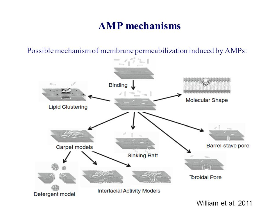 AMP mechanisms William et al. 2011 Possible mechanism of membrane permeabilization induced by AMPs:
