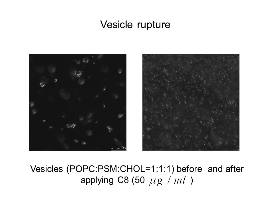 Vesicles (POPC:PSM:CHOL=1:1:1) before and after applying C8 (50 ) Vesicle rupture