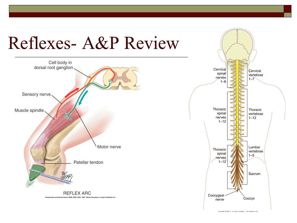 Reflexes- A&P Review