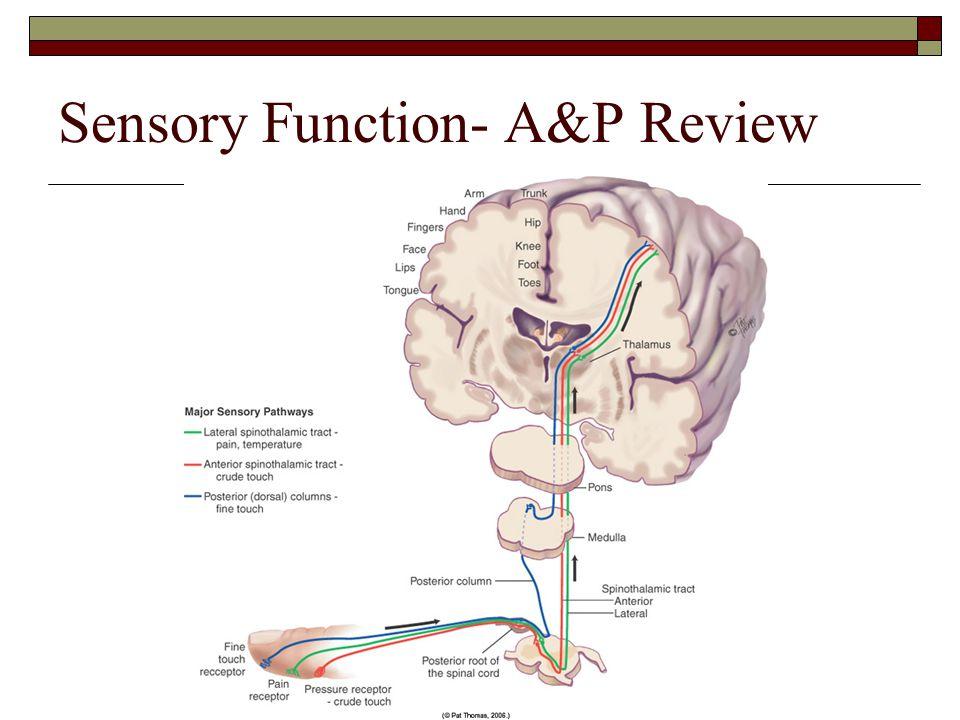 Sensory Function- A&P Review