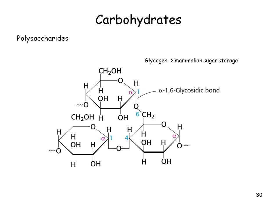 30 Carbohydrates Polysaccharides Glycogen -> mammalian sugar storage