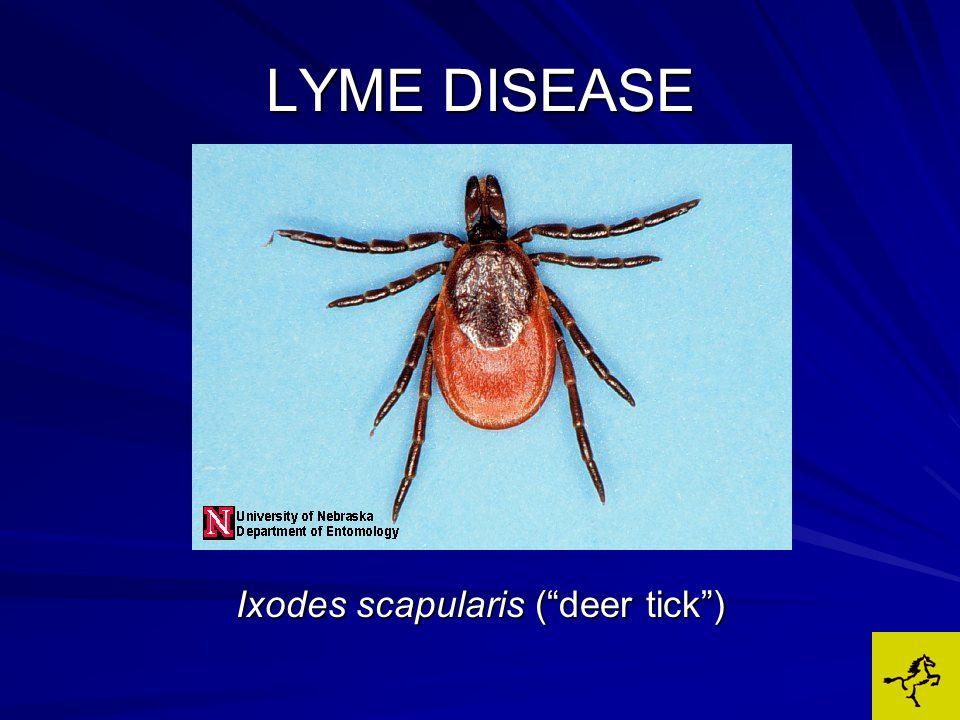LYME DISEASE Ixodes scapularis ( deer tick )