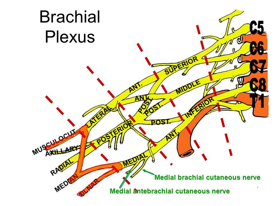 Brachial Plexus.SUPERIOR MIDDLE INFERIOR ANT. POST.